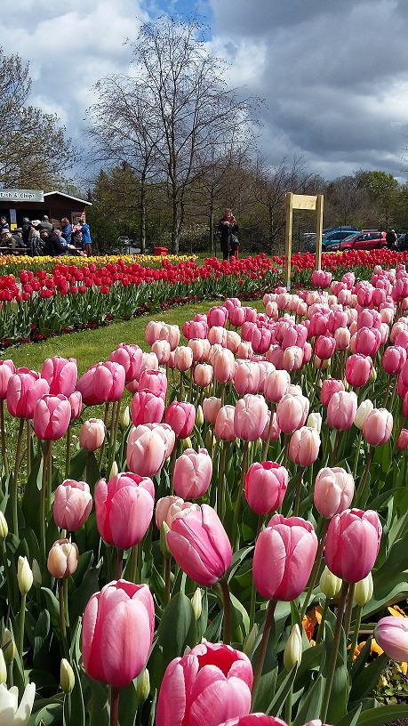 Tulpen im Stadtpark Luckau zum Tulpenfest