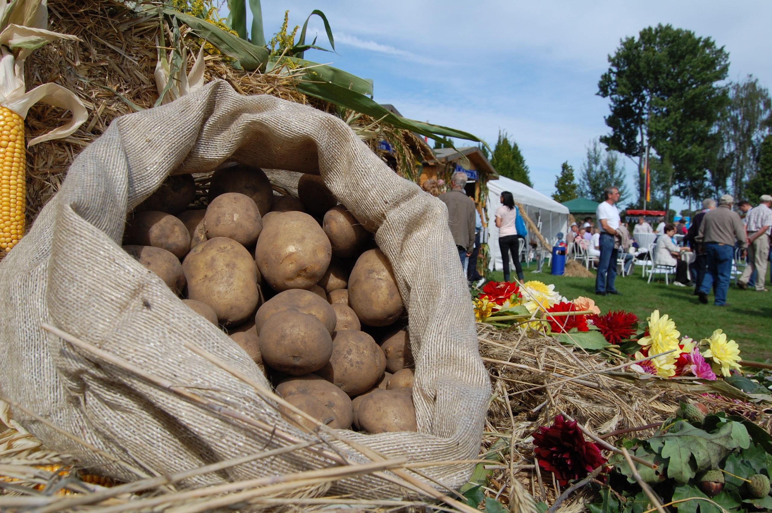 Kartoffelernte, Brandenburger Dorf- und Erntefest 2020 in Wulkow, Neuruppin